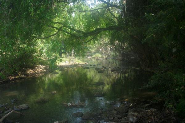 Pohon Beringin ,Salah satu pohon penahan erosi dan penyimpan air tanah ...