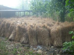 Gb. Panen padi milik salah satu jama'ah
