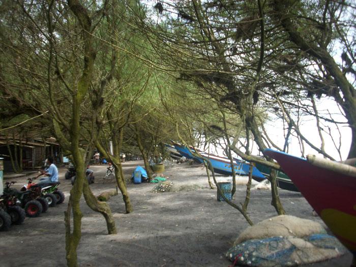 Images of Images Pohon Cemara Laut Jenis Udang Pantai Kuwaru Srandakan